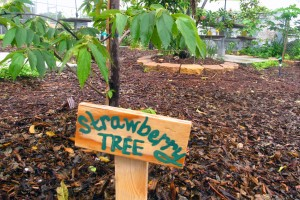 Strawberry tree -- which doesn't grow strawberries -- is one of the fruit trees in the Kelsey Pharr Elementary School food forest.