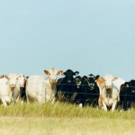 In 2008 there were 550,333 dairy cows in Idaho