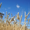 Wheat ready for harvest. Wheat is one of Idaho's top ag exports.