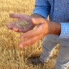 Last month, Hans Hayden examined wheat yields near his farm in Arbon Valley, near Pocatello.