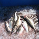 Competitive pressures and increased regulations in response to overfishing have squeezed small fishermen