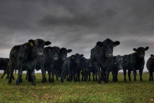 Oklahoma Cows