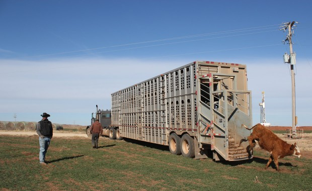 Brandon McCamey, a foreman at the Shirley Ranch helps unload a trailer of Red Angus cattle into a livestock near Alva, Okla. The land McCamey manages is surrounded my temporary water lines used by the oil and gas industry, which create headaches for farmers.