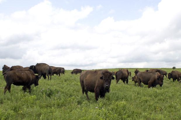 Bison on the Tallgrass Prairie Preserve near Pawhuska, Okla.