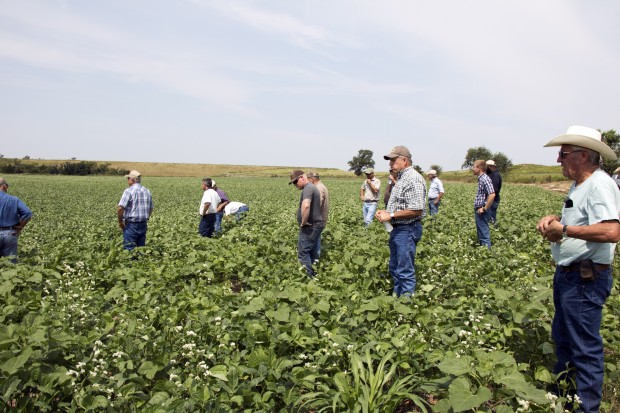 Several Oklahoma farmers wonder through a field of broad-leafed cover crops during a state Conservation Commission workshop in Dewey County in western Oklahoma.