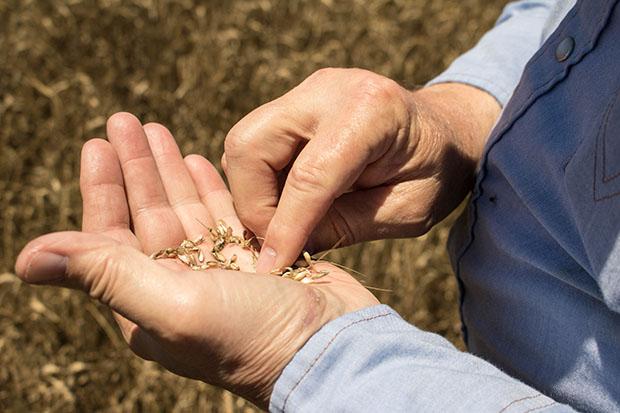 20160606 - wheat harvest077_WEB
