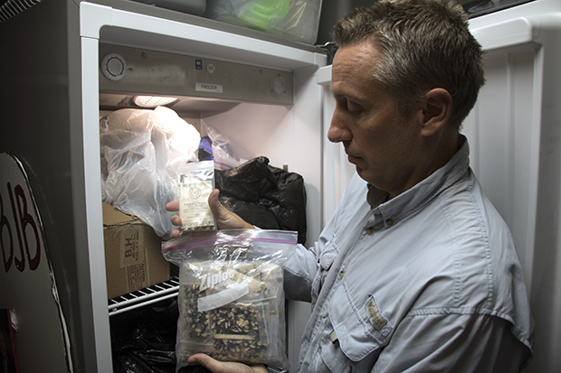 Biologist and Cherokee Nation Administrative Liaison Pat Gwin removes white eagle corn seeds from the seed bank freezer at Cherokee Nation headquarters in Tahlequah, Okla.