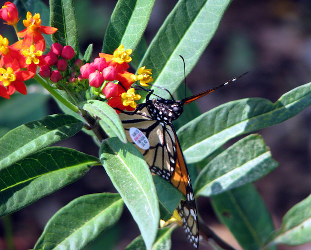 A tagged Monarch butterfly on a flowering lantana plant at the Oklahoma City.