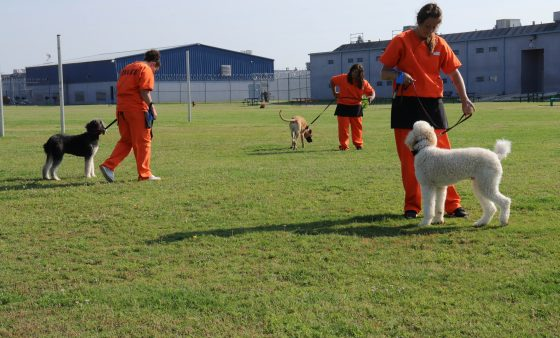 Inmates in the Guardian Angels program walk the dogs they're training on the Mabel Bassett yard.