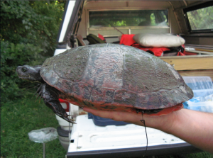 The red-bellied cooter is one of 88 endangered wildlife species in Pennsylvania.