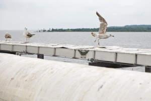 A seagull takes flight from the offshore loading pier out into the Chesapeake Bay.