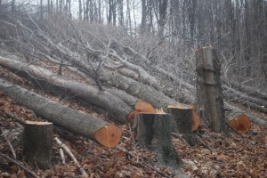 Fallen trees on the Holleran property after cutting on Tuesday. The trees were cut to make way for the Constitution Pipeline project.
