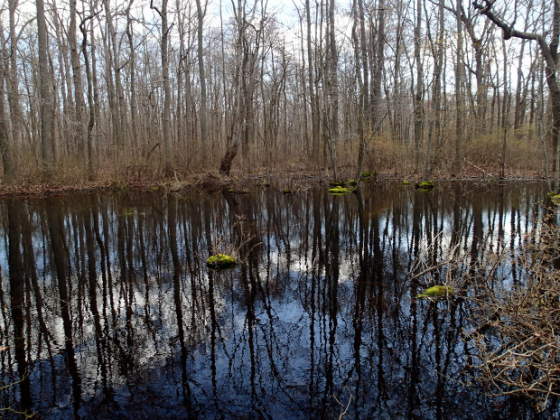 A photo of a Delmarva bay in spring shows the wetland flooded. In summer and fall this same wetland is dry. Under Obama's Waters of the U.S. Rule this isolated wetland would be protected.