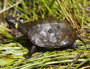 Bog turtles, a federally listed endangered species, hibernate during the winter. Construction that would disturb their habitat must be conducted before March 31.