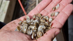 In the pools of Cape May Salts oyster farm in Bivalve, oysters seeds grow from 2 millimeters to half inch. Farmers don't need to feed them, they get good by filtering the water.