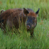 A feral hog wandering through a field of grass