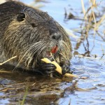 A nutria nibbling on an aquatic plant.
