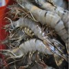 Tiger prawns have recently invaded the Gulf of Mexico.