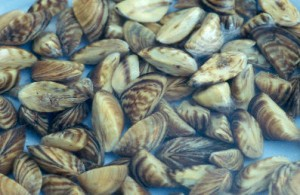 Zebra mussels are named for the stripes on their shells.