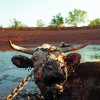 With stock tanks at historic lows, cattle, such as this steer on the Patterson Ranch, in Knox County, are driven by desperation to wade into the quagmire that surrounds each remaining water source, where they become stuck.