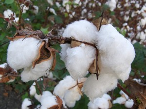 The white fruit of the cotton plant is known as the boll. Texas has led the nation in cotton production for over a century.