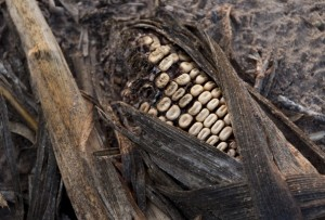 Rotting corn damaged by severe drought on a farm near Bruceville, Indiana, August 16, 2012. Record heat throughout the US farm belt states have curtailed crop production and likely will send corn and soybean prices to record highs according to the US Department of Agriculture.