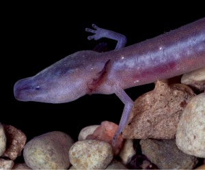 The Austin Blind Salamander is one of the species now listed as endangered in Central Texas.
