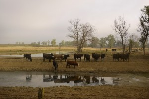 Drought affects Midwest cattle. Here in Texas, lawmakers are considering funding a water plan that could protect the state's water supplies.