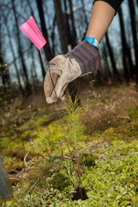 A Texas A&M Aggie plants a Loblolly Pine seedling in Bastrop State Park after the 2011 wildfires. New legislation could expand the supply of native Texas seeds.