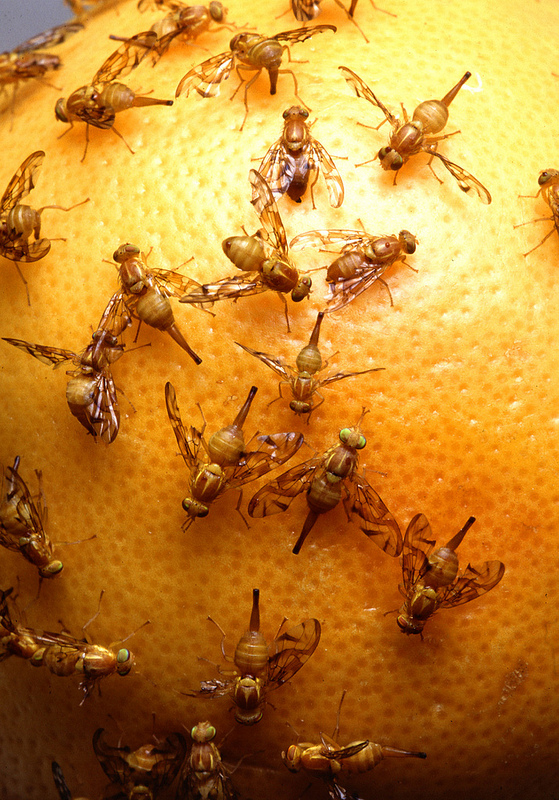 Quarantine in South Texas as Mexican Fruit Fly Invades