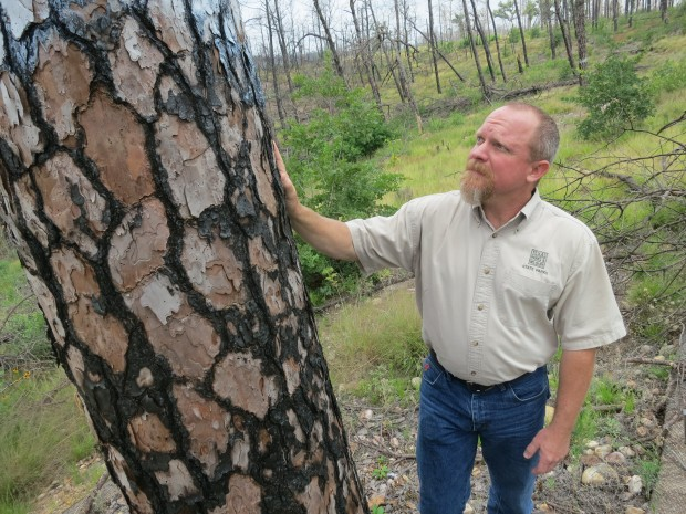 Natural Resources Coodinator Greg Creacy looks at a tree burned in the historic wildfires of 2011.