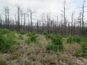 Oak trees grow in the foreground, while dead pine trees stand in testament to the fire destructive power.