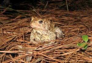 The endangered Houston toad