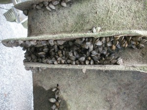 Zebra mussels cluster on the outside of a pipe
