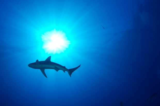 Scientists in the Gulf are conducting groundbreaking research on shark behavior