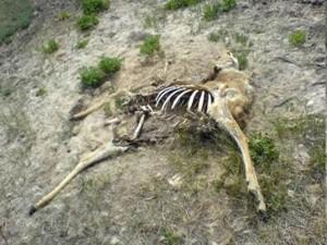 Anthrax infected deer carcass