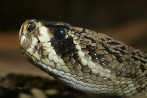 An Eastern Diamondback Rattlesnake.