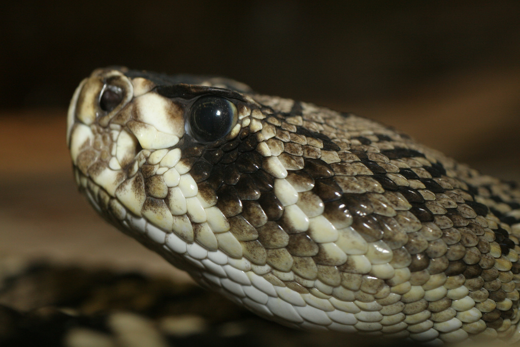 Texas May Outlaw The  U201cgassing U201d Of Rattlesnakes