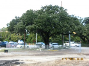 "The ""Taco Bell Tree,"" a 130-year old Live Oak in Austin, is weeks away from being demolished in order to expand an intersection."
