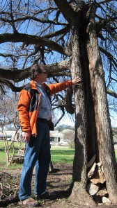"Michael Fossum of the Austin Heritage Tree Foundation points out a Cedar Elm that has been hollowed out by lightning. It's still alive. ""This is a good example of what survivors trees are,"" Fossum says."