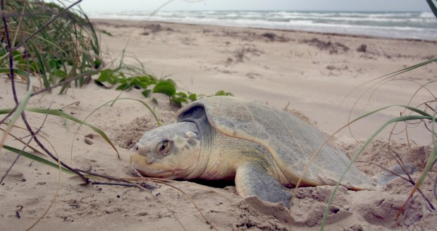 A Kemp's Ridley sea turtle on laying its eggs on Texas Gulf Coast.