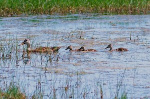 Mottled ducks in pond at Brazoria National WIldlife Refuge in Brazoria County
