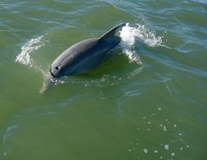 A dolphin spotted in Galveston.
