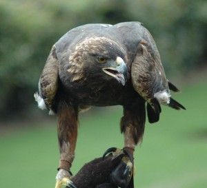 Research looked at Golden Eagle deaths caused by wind turbines.