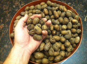 A harvest of Pecans from Austin, Texas.